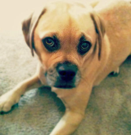 Murphy the Puggle Pictures 856509