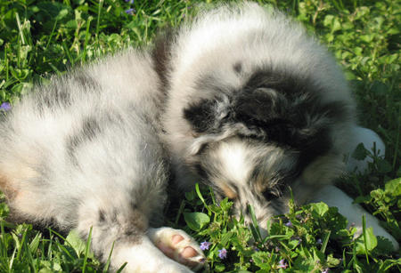 Murphy the Shetland Sheepdog Pictures 1054505