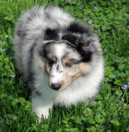 Murphy the Shetland Sheepdog Pictures 1054506