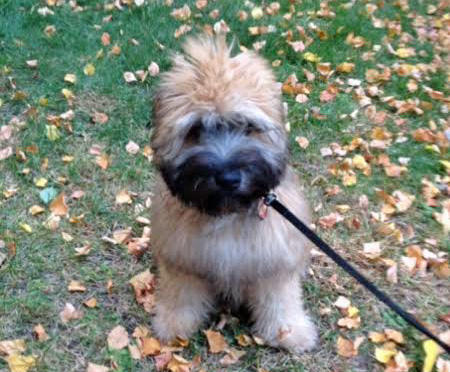 Murray the Soft Coated Wheaten Terrier Pictures 1029560