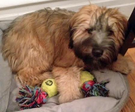 Murray the Soft Coated Wheaten Terrier Pictures 1029561