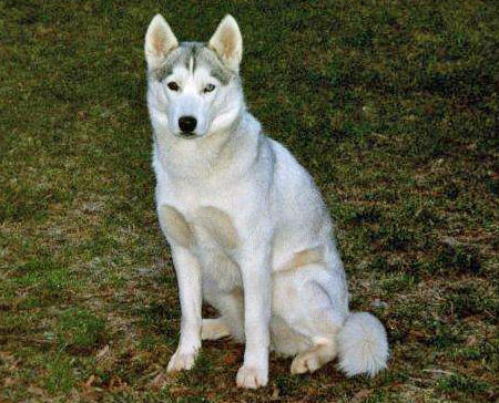 Mya the Siberian Husky Pictures 765878