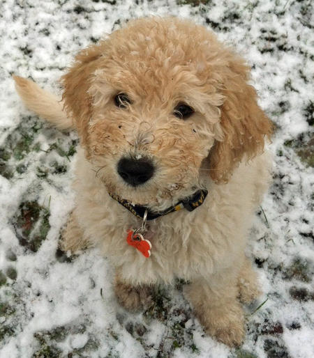 Myshkin the Goldendoodle Pictures 941865