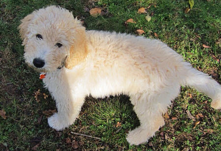 Myshkin the Goldendoodle Pictures 941863