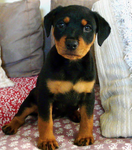 Nahla the Rottweiler Pictures 506429