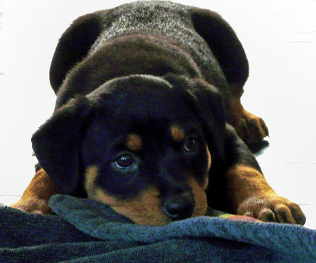 Nahla the Rottweiler Pictures 506430