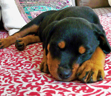 Nahla the Rottweiler Pictures 506433
