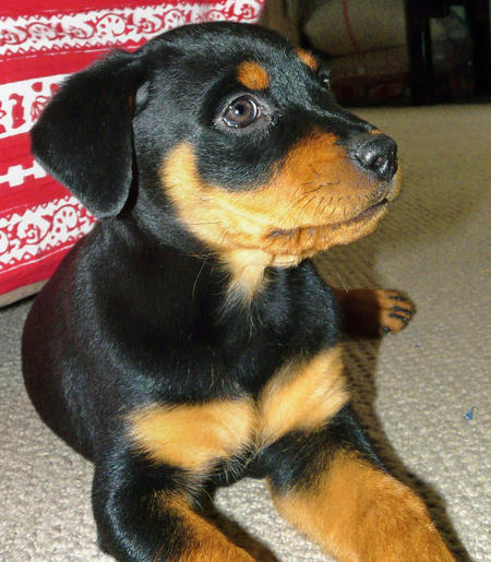 Nahla the Rottweiler Pictures 506434