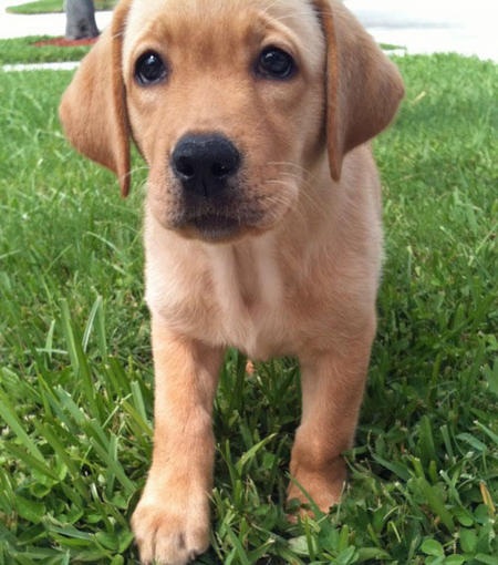 Nala the Labrador Retriever Pictures 987204