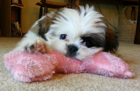 Nala the Shih Tzu Mix Pictures 989555