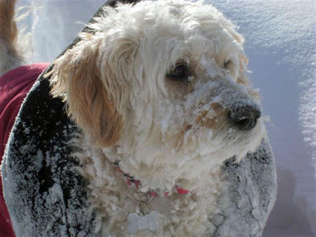 Narlie the Goldendoodle Pictures 502548