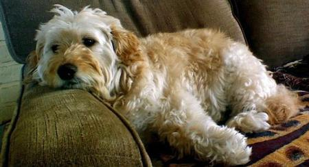 Narlie the Goldendoodle Pictures 502546