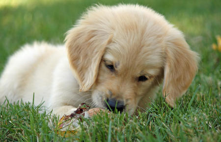 Nash the Golden Retriever Pictures 666255