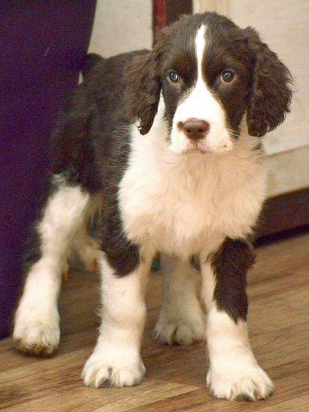 Ned the English Springer Spaniel Pictures 1031717