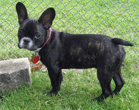 Nellie the French Bulldog Pictures 692849