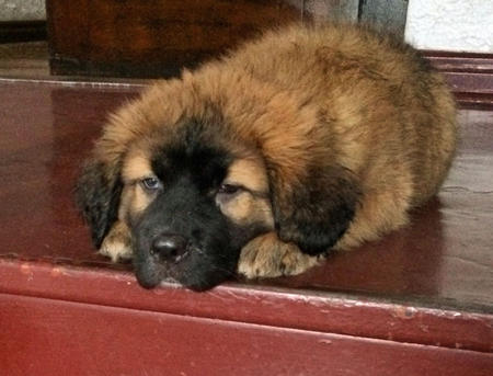 Nelly the Leonberger Pictures 1010157