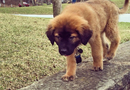 Nelly the Leonberger Pictures 1010161