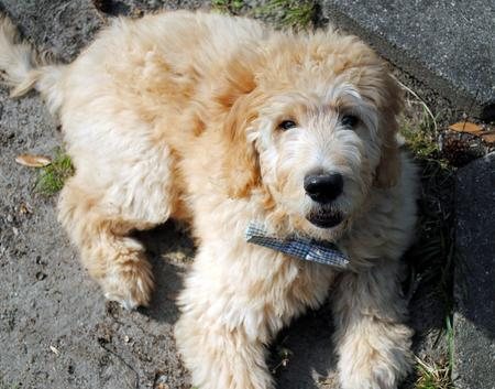 Nelson the Goldendoodle Pictures 966781