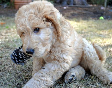 Nelson the Goldendoodle Pictures 966782