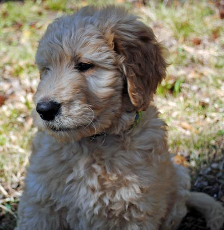 Nelson the Goldendoodle Pictures 966783