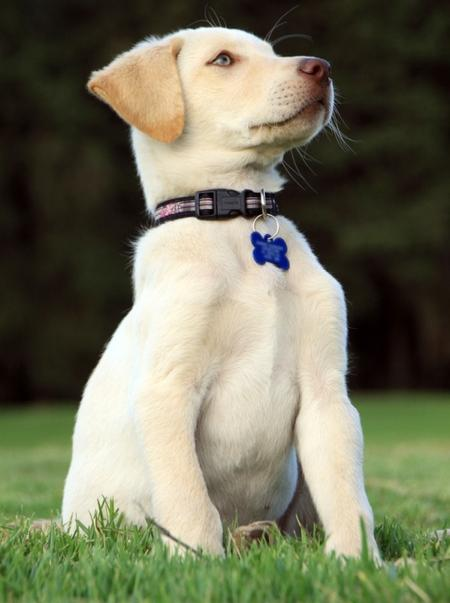 Nemo the Labrador Retriever Pictures 552475