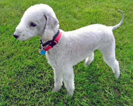 Nigel the Bedlington Terrier Pictures 925079