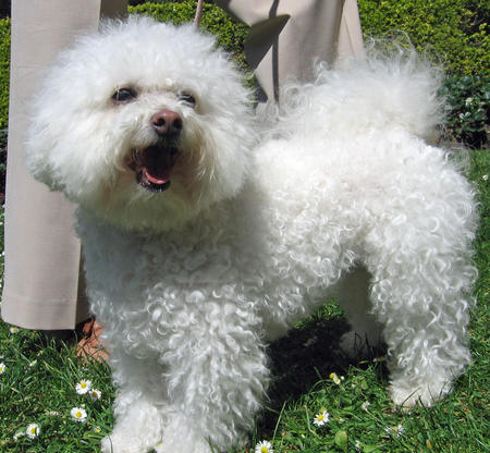 Nikki the Bichon Frise Pictures 810595