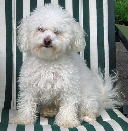 Nikki the Bichon Frise Pictures 810592