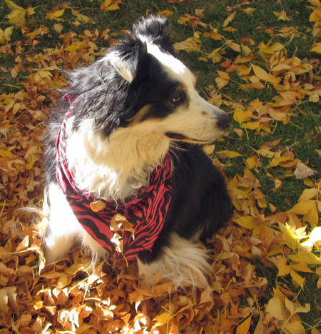 Noni the Australian Shepherd Pictures 1032903