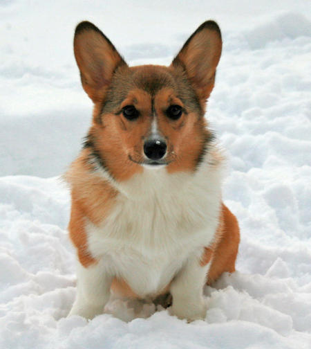 Noodle the Pembroke Welsh Corgi Pictures 505353