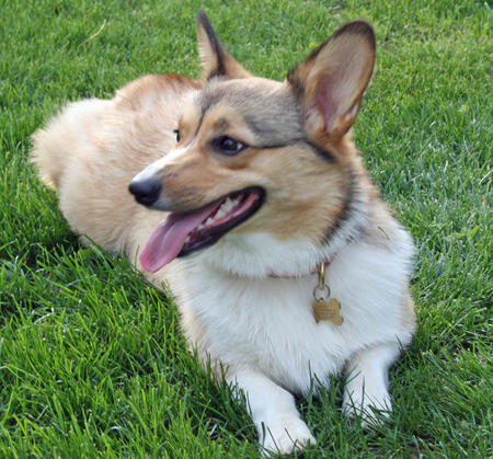 Noodle the Pembroke Welsh Corgi Pictures 505358