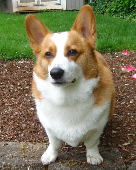 Noodles the Pembroke Welsh Corgi Pictures 1031876