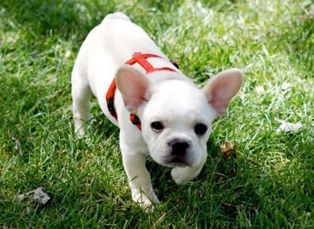 Norman the French Bulldog Pictures 434323