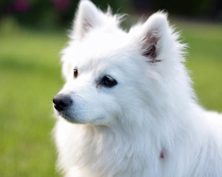 Nova the American Eskimo Pictures 988862