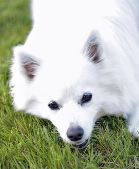Nova the American Eskimo Pictures 988863