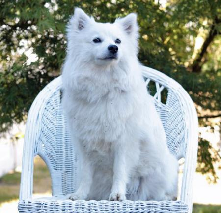 Nova the American Eskimo Pictures 988866