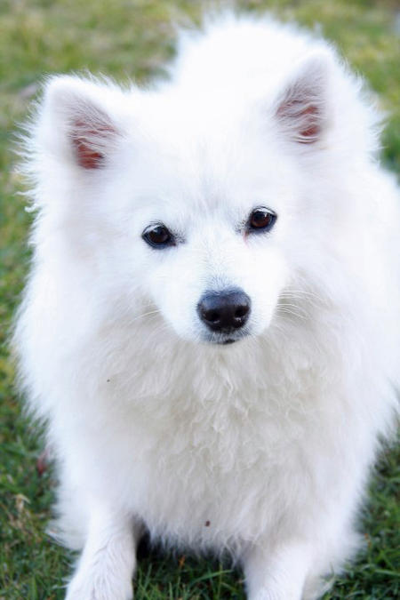 Nova the American Eskimo Pictures 988861