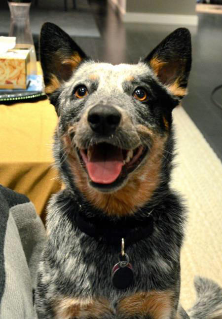 Nova the Australian Cattle Dog Pictures 955541