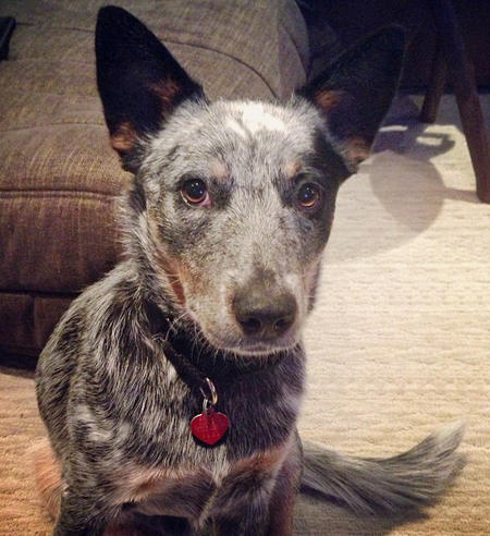 Nova the Australian Cattle Dog Pictures 955543