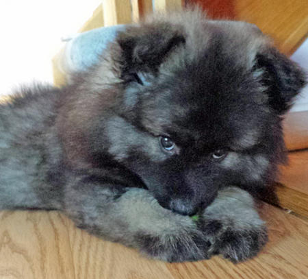 Nova the Keeshond Pictures 1027361