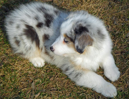 Nutmeg the Australian Shepherd Pictures 587626