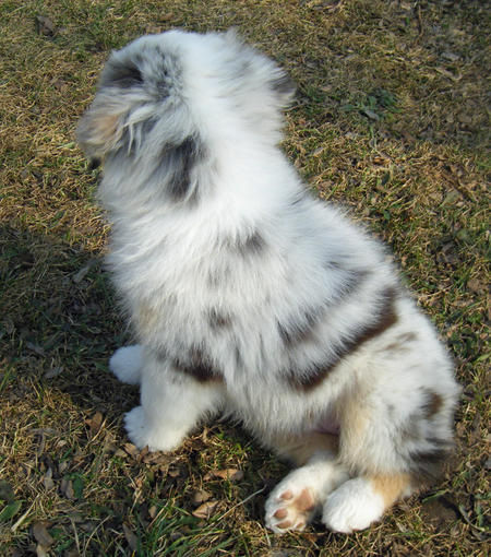 Nutmeg the Australian Shepherd Pictures 587627