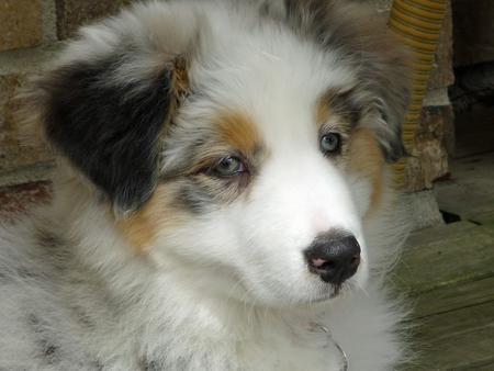 Nutmeg the Australian Shepherd Pictures 587628