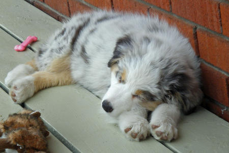 Nutmeg the Australian Shepherd Pictures 587630