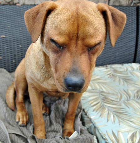 Nutmeg the Mixed Breed Pictures 564398