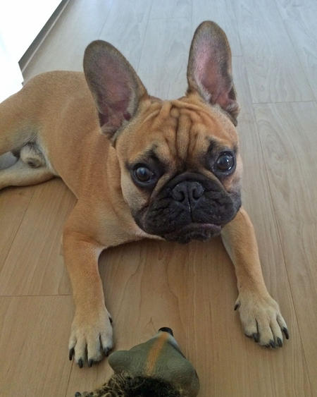 Oakley the French Bulldog Pictures 1017645