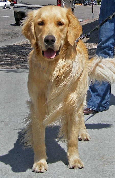 Oakley the Golden Retriever  Pictures 442774