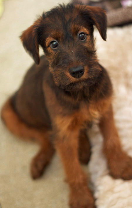 Obi Wan the Irish Terrier Pictures 781976