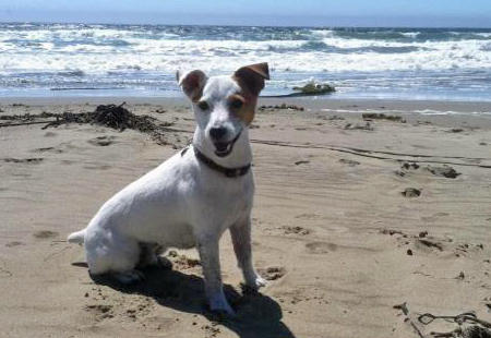 Obie the Jack Russell Terrier Pictures 856154