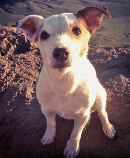 Obie the Jack Russell Terrier Pictures 856155